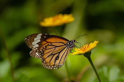 Butterfly - Common Tiger Art Print by Saurav Pandey