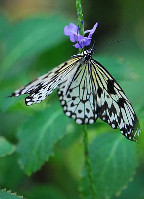 Photograph - Butterfly Dance by Amee Cave