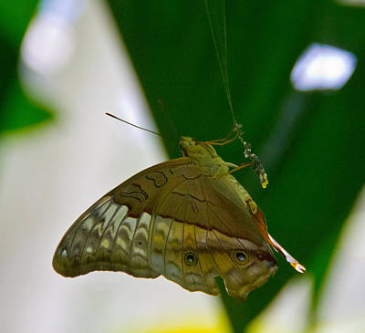 Female With Eggs Photograph - Butterfly by Debbie Cundy