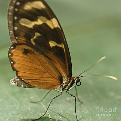 Zoologic Photograph - Butterfly Eueides Isabella by Heiko Koehrer-Wagner