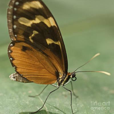 Butterfly Eueides Isabella Art Print by Heiko Koehrer-Wagner