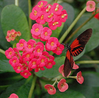 Red And Black Butterfly Photograph - Butterfly Feeding by James DeFazio