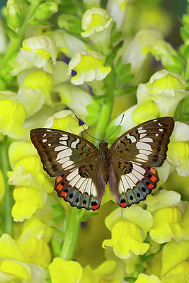 Snapdragons Photograph - Butterfly, Female, Euthalia Adonia by Darrell Gulin