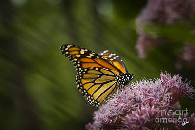 Photograph - Butterfly Garden by Alana Ranney