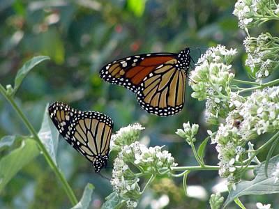 Photograph - Butterfly Garden - Monarchs 01 by Pamela Critchlow