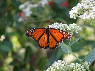 Photograph - Butterfly Garden - Monarchs 04 by Pamela Critchlow