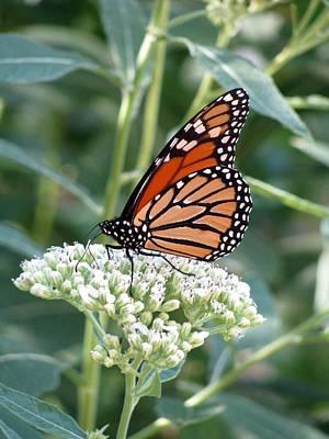 Photograph - Butterfly Garden - Monarchs 06 by Pamela Critchlow