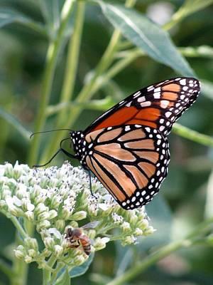 Photograph - Butterfly Garden - Monarchs 07 by Pamela Critchlow