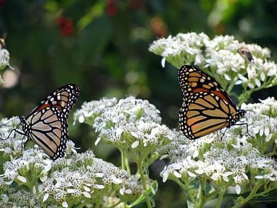 Photograph - Butterfly Garden - Monarchs 08 by Pamela Critchlow
