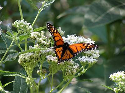 Photograph - Butterfly Garden - Monarchs 09 by Pamela Critchlow