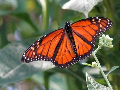 Photograph - Butterfly Garden - Monarchs 10 by Pamela Critchlow