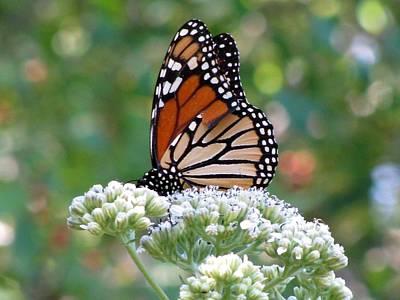Photograph - Butterfly Garden - Monarchs 11 by Pamela Critchlow