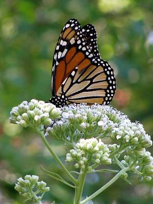 Photograph - Butterfly Garden - Monarchs 12 by Pamela Critchlow