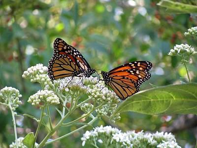 Photograph - Butterfly Garden - Monarchs 16 by Pamela Critchlow