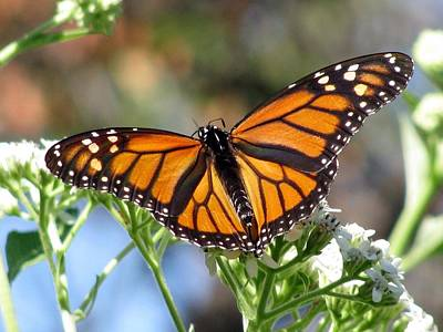 Photograph - Butterfly Garden - Monarchs 18 by Pamela Critchlow