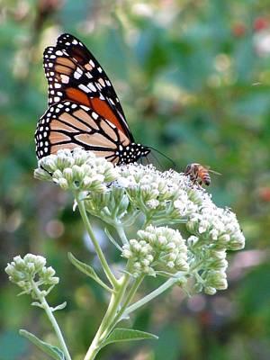 Photograph - Butterfly Garden - Monarchs 19 by Pamela Critchlow