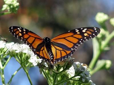 Photograph - Butterfly Garden - Monarchs 20 by Pamela Critchlow