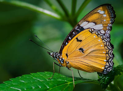 Photograph - Butterfly  by Garvin Hunter