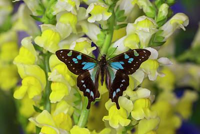 Blue Swallowtail Photograph - Butterfly Graphium Stresemanni by Darrell Gulin
