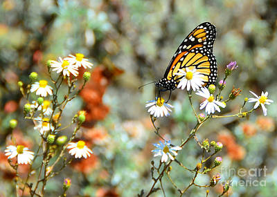 Photograph - Butterfly Grove Monarch by Debra Thompson