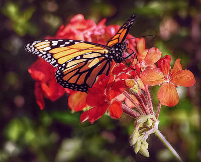 Photograph - Butterfly by Hanny Heim