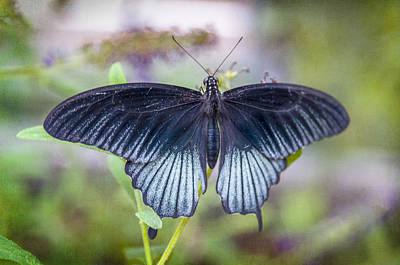 Photograph - Butterfly II by Diane Wood