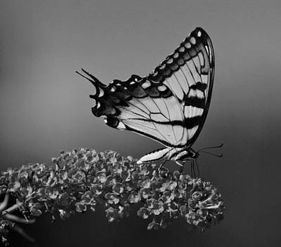 Photograph - Butterfly In Black And White by Sandy Keeton