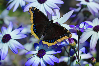 Photograph - Butterfly In Blue by Heidi Smith