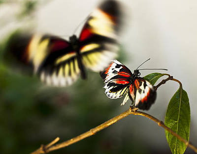 Butterfly In Flight Art Print