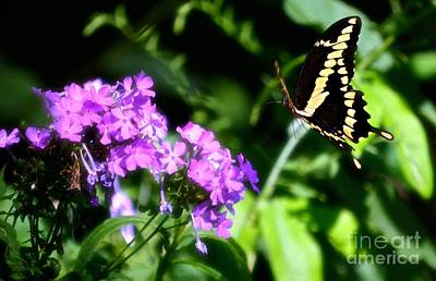 Photograph - Butterfly In Flight by Peggy Franz