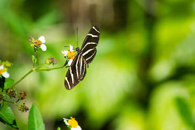 Photograph - Butterfly In Ft. Myers by Shannon Harrington