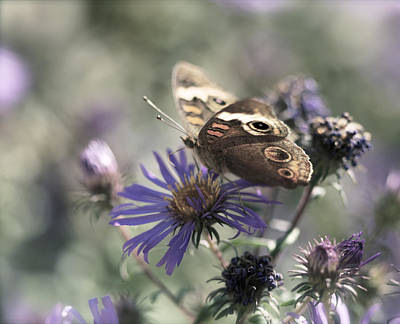 Photograph - Butterfly In Pastel - Buckeye On Asters by Jane Eleanor Nicholas