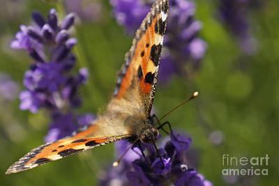 Photograph - Small Tortoiseshell Butterfly by Inge Riis McDonald