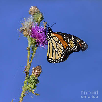 Photograph - Butterfly King by Joshua McCullough