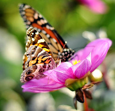 Photograph - Butterfly Love by Joanne Brown
