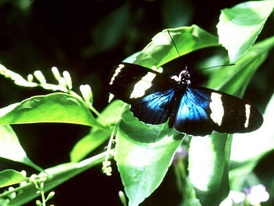 Photograph - Butterfly - Luminescent Blue by Robert  Rodvik