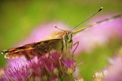 Summer Flowers Photograph - Butterfly Macro by Adam Romanowicz