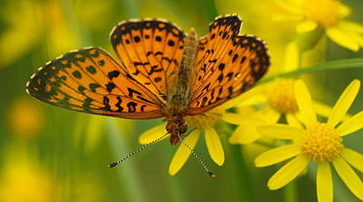 Print featuring the photograph Butterfly by James Peterson
