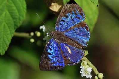 Butterfly Menander Menander Print by Leonardo Mercon