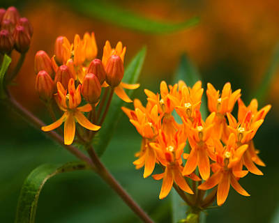 Green Photograph - Butterfly Milkweed by Adam Romanowicz