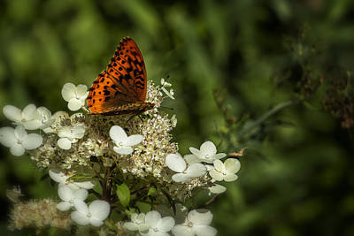Photograph - Butterfly On A Hydrangea - Great Spangled Fritillary No. 2 by Belinda Greb