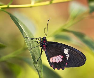 Photograph - Butterfly On A Leaf  by Saija  Lehtonen