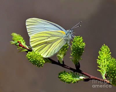 Photograph - Butterfly On A Spicebush by Rodney Campbell