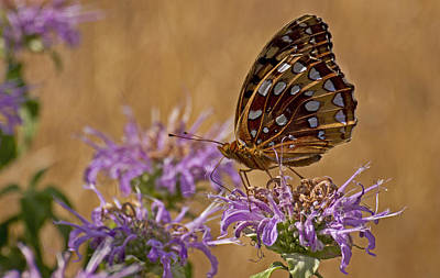 Butterfly On Bee Balm Art Print by Shelly Gunderson