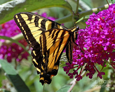Photograph - Butterfly On Butterfly Bush by Chuck Flewelling