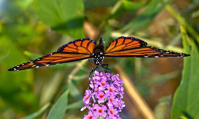 Photograph - Butterfly On Butterfly Bush by Susan Leggett