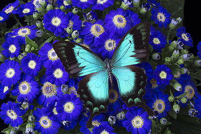 Butterfly On Cineraria Art Print by Garry Gay