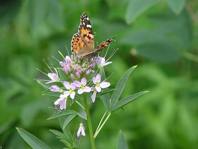Photograph - Butterfly On Cleome by Diane Alexander