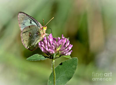 Photograph - Butterfly On Clover by Cheryl Baxter