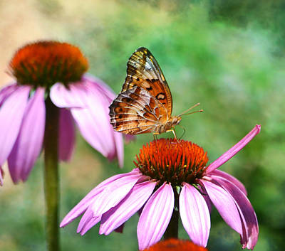 Photograph - Butterfly On Coneflower by Deena Stoddard